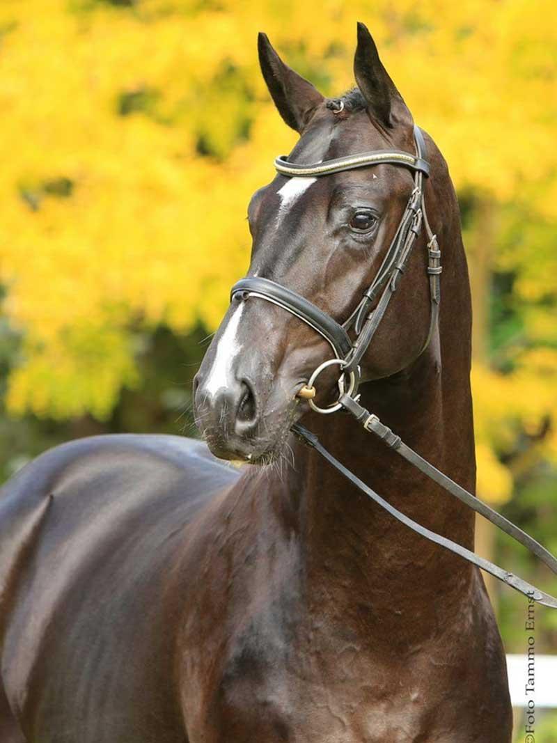 Lombardo Sporthorses